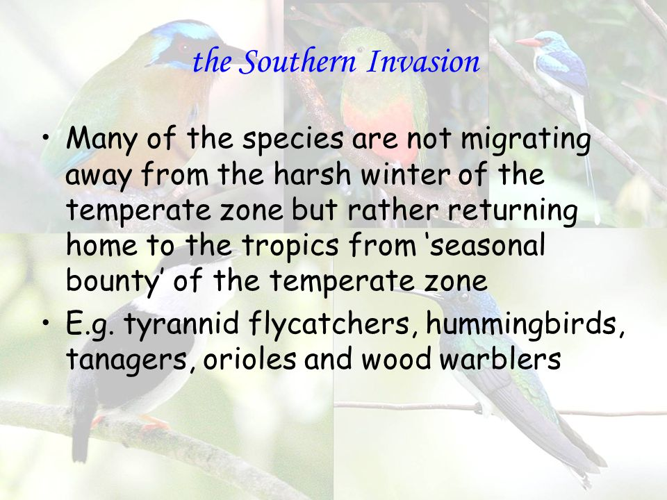 the Southern Invasion Many of the species are not migrating away from the harsh winter of the temperate zone but rather returning home to the tropics from 'seasonal bounty' of the temperate zone E.g.