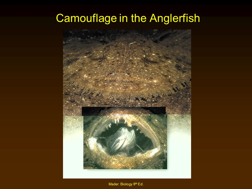 Mader: Biology 8 th Ed. Camouflage in the Anglerfish