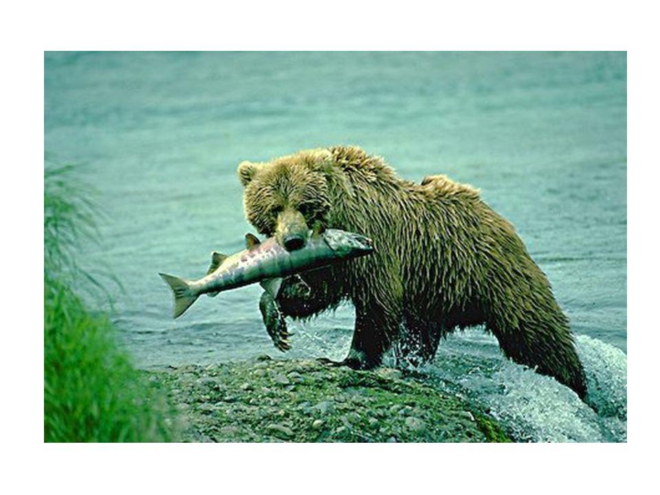 Bear and Salmon
