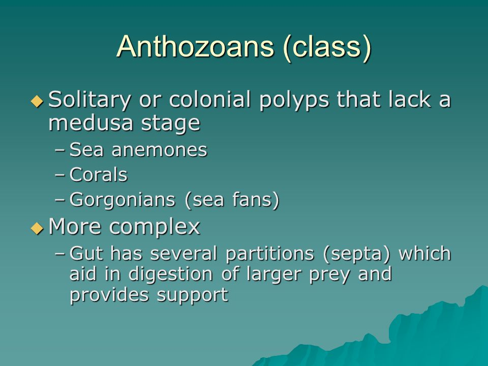 Anthozoans (class)  Solitary or colonial polyps that lack a medusa stage –Sea anemones –Corals –Gorgonians (sea fans)  More complex –Gut has several