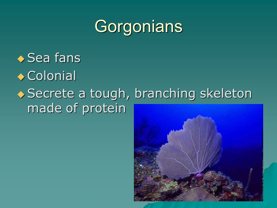 Gorgonians  Sea fans  Colonial  Secrete a tough, branching skeleton made of protein