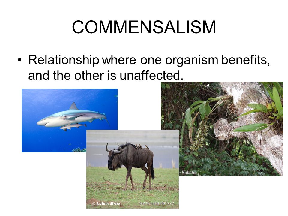 COMMENSALISM Relationship where one organism benefits, and the other is unaffected.