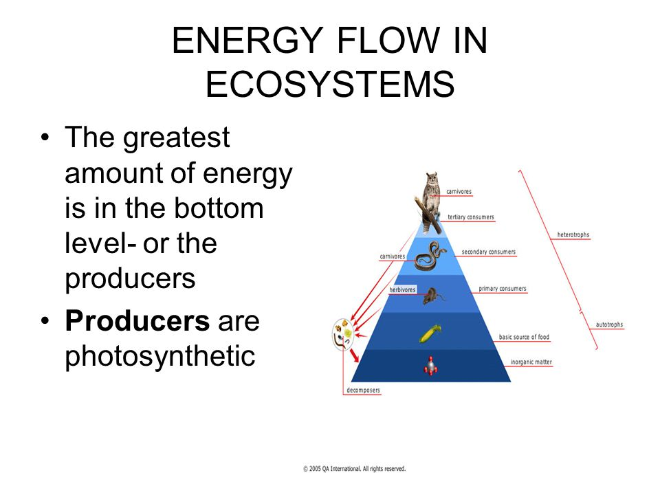 ENERGY FLOW IN ECOSYSTEMS The greatest amount of energy is in the bottom level- or the producers Producers are photosynthetic