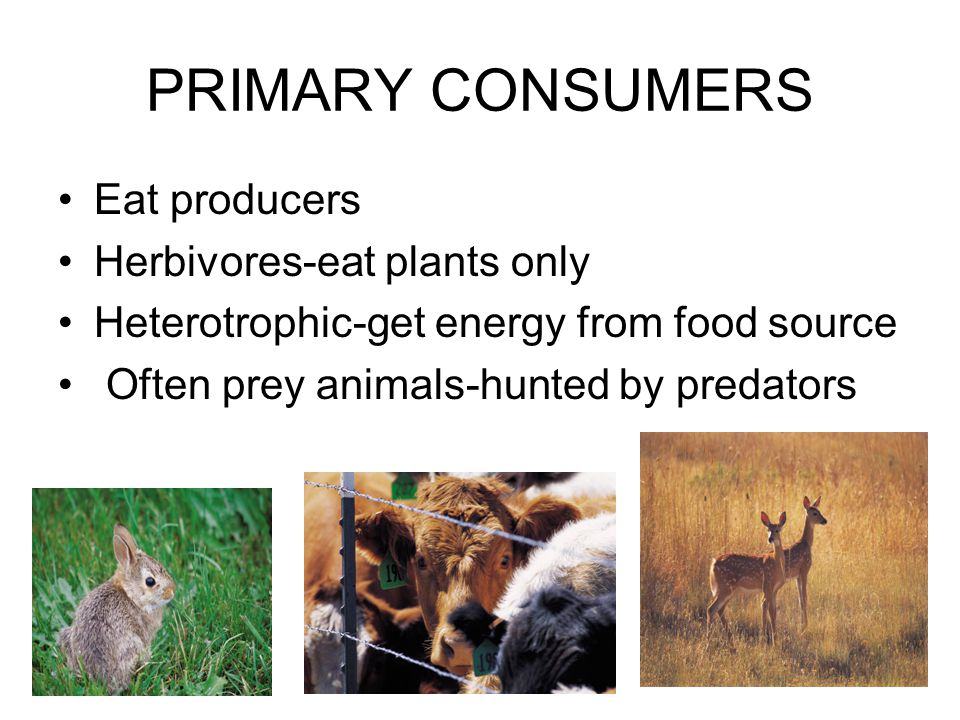 PRIMARY CONSUMERS Eat producers Herbivores-eat plants only Heterotrophic-get energy from food source Often prey animals-hunted by predators