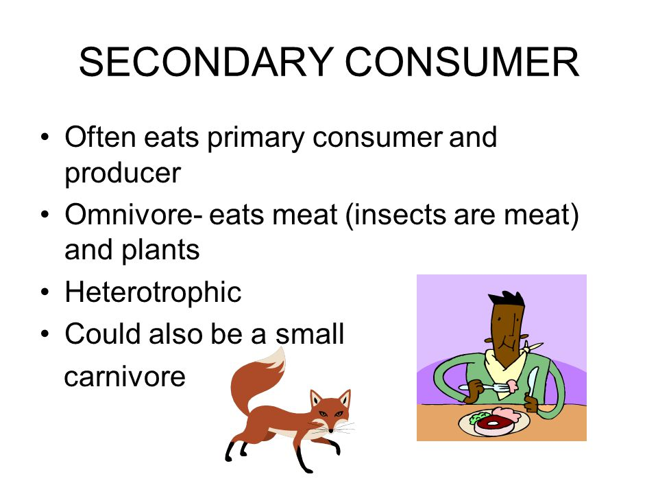 SECONDARY CONSUMER Often eats primary consumer and producer Omnivore- eats meat (insects are meat) and plants Heterotrophic Could also be a small carnivore