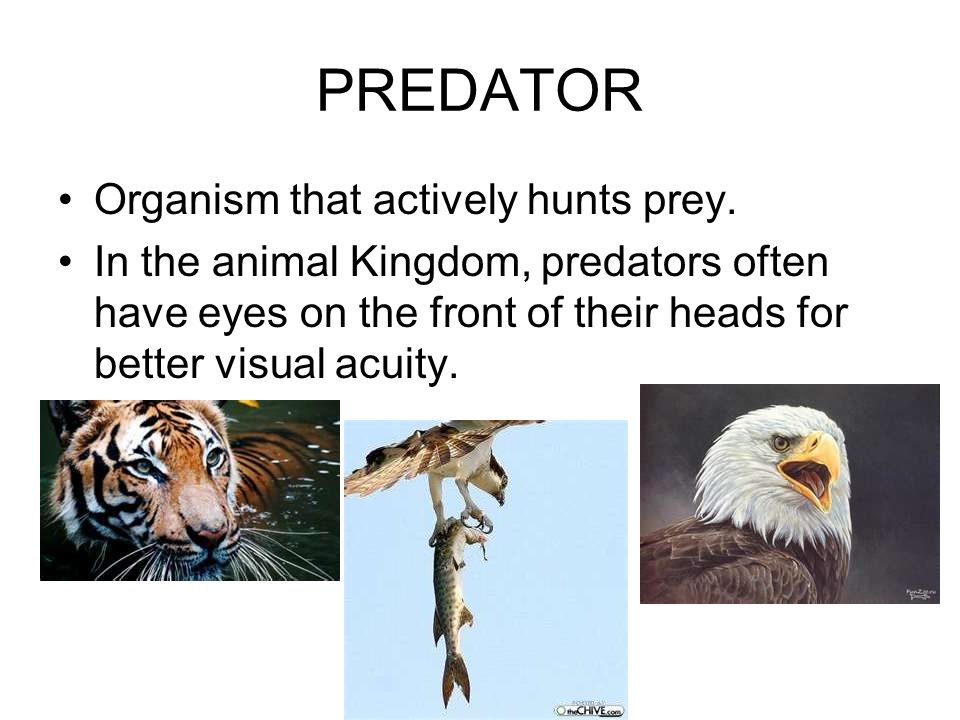 PREDATOR Organism that actively hunts prey.