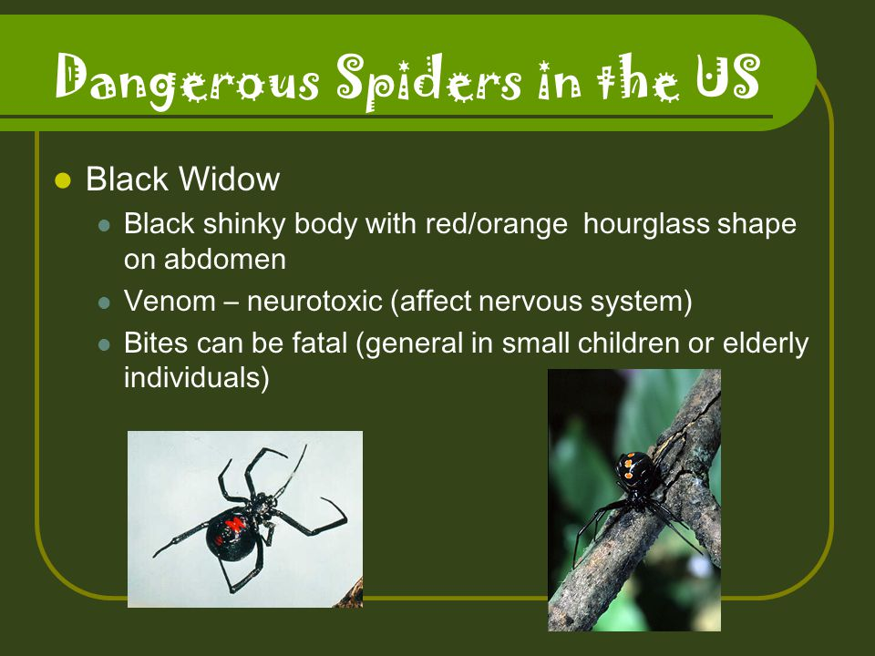 Dangerous Spiders in the US Black Widow Black shinky body with red/orange hourglass shape on abdomen Venom – neurotoxic (affect nervous system) Bites can be fatal (general in small children or elderly individuals)
