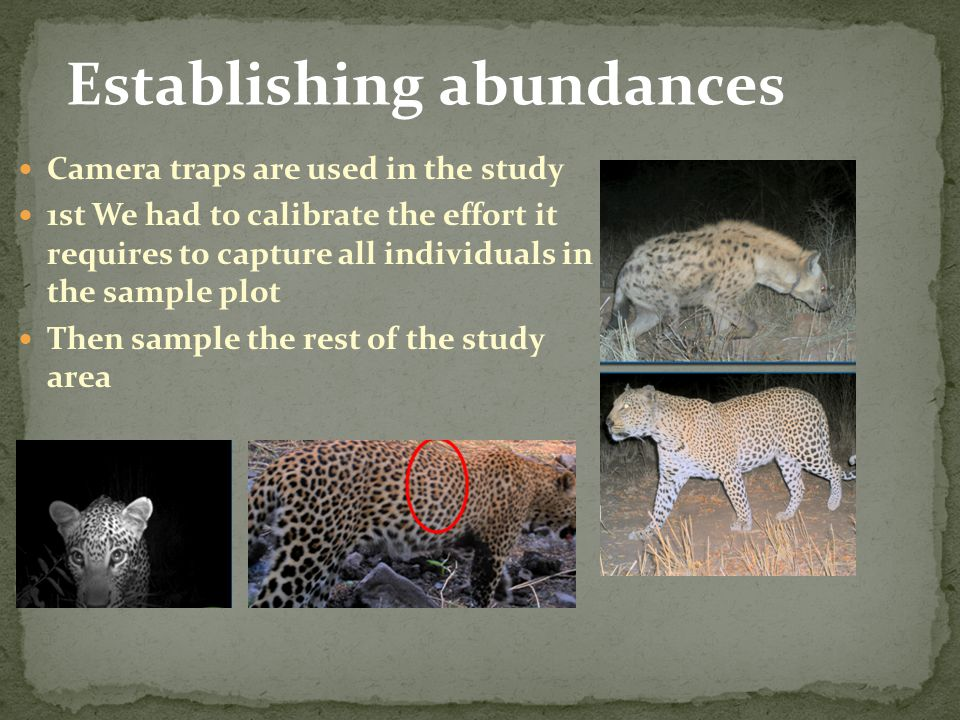 Establishing abundances Camera traps are used in the study 1st We had to calibrate the effort it requires to capture all individuals in the sample plo