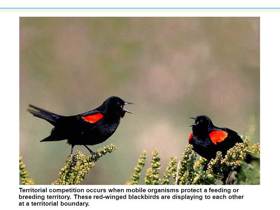 Territorial competition occurs when mobile organisms protect a feeding or breeding territory.