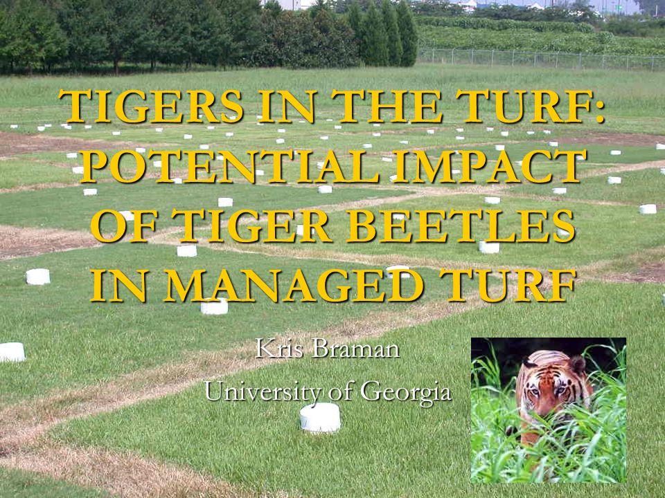 TIGERS IN THE TURF: POTENTIAL IMPACT OF TIGER BEETLES IN MANAGED TURF Kris Braman University of Georgia