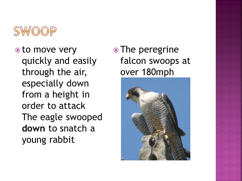  to move very quickly and easily through the air, especially down from a height in order to attack The eagle swooped down to snatch a young rabbit 