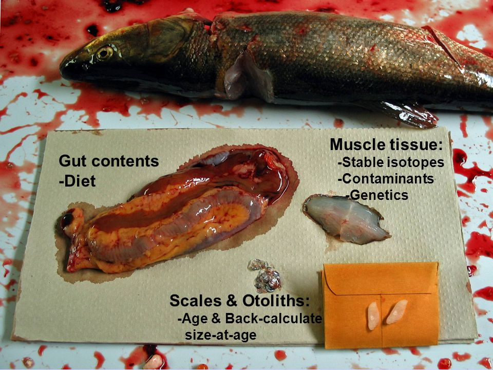 Gut contents -Diet Muscle tissue: -Stable isotopes -Contaminants -Genetics Scales & Otoliths: -Age & Back-calculate size-at-age