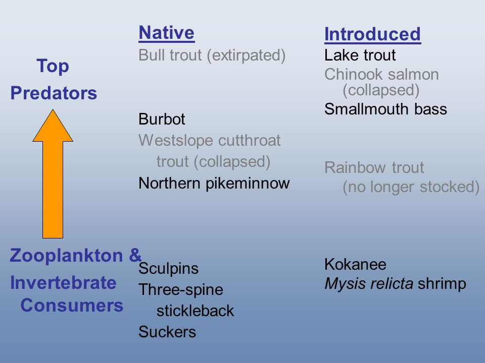 Native Burbot Westslope cutthroat trout (collapsed) Northern pikeminnow Introduced Lake trout Chinook salmon (collapsed) Smallmouth bass Kokanee Mysis relicta shrimp Top Predators Zooplankton & Invertebrate Consumers