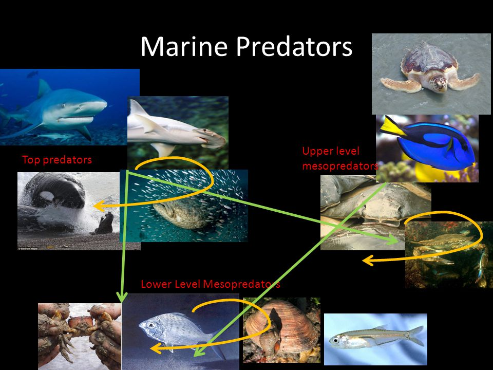 Marine Predators Top predators Upper level mesopredators Lower Level Mesopredators