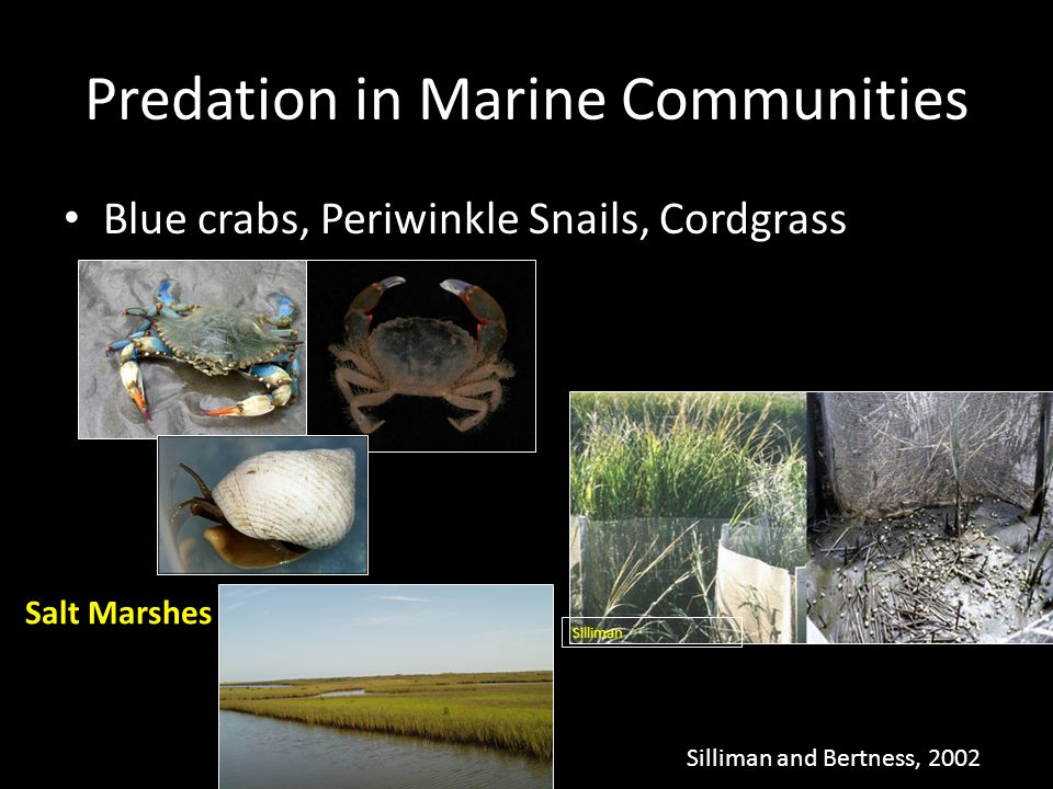 Blue crabs, Periwinkle Snails, Cordgrass Silliman and Bertness, 2002 Predation in Marine Communities Silliman Salt Marshes