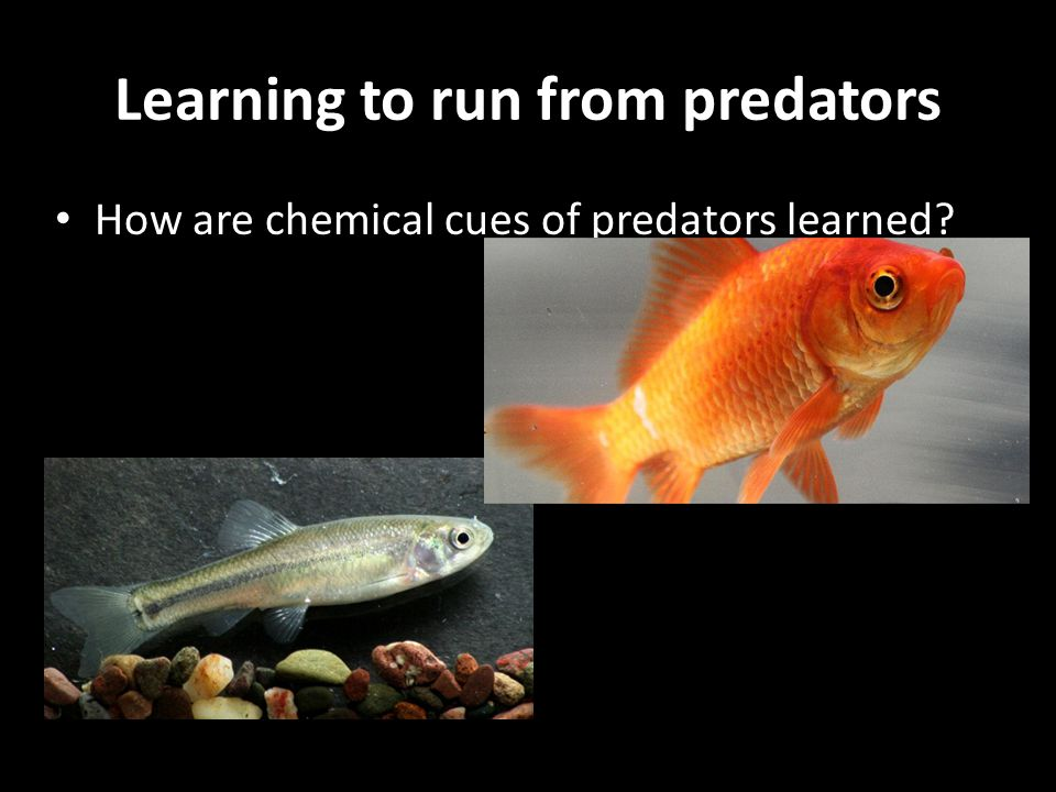 Learning to run from predators How are chemical cues of predators learned