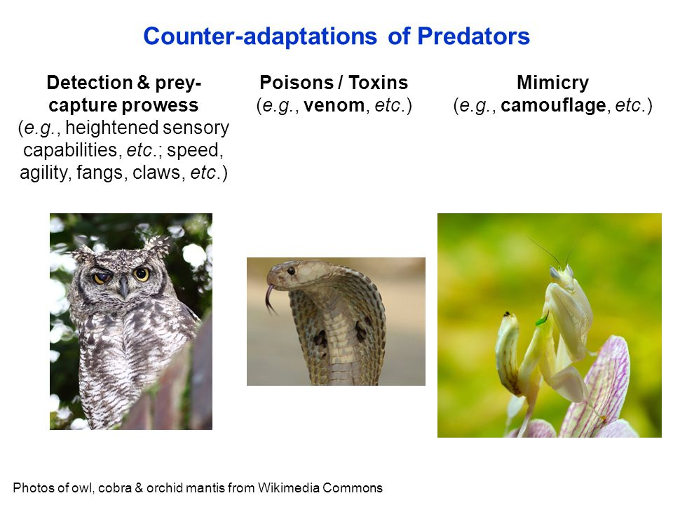 Detection & prey- capture prowess (e.g., heightened sensory capabilities, etc.; speed, agility, fangs, claws, etc.) Poisons / Toxins (e.g., venom, etc