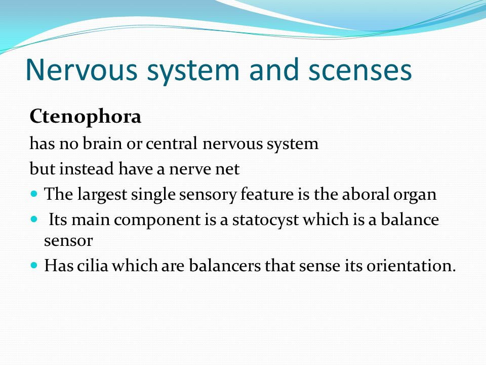 Nervous system and scenses Ctenophora has no brain or central nervous system but instead have a nerve net The largest single sensory feature is the aboral organ Its main component is a statocyst which is a balance sensor Has cilia which are balancers that sense its orientation.