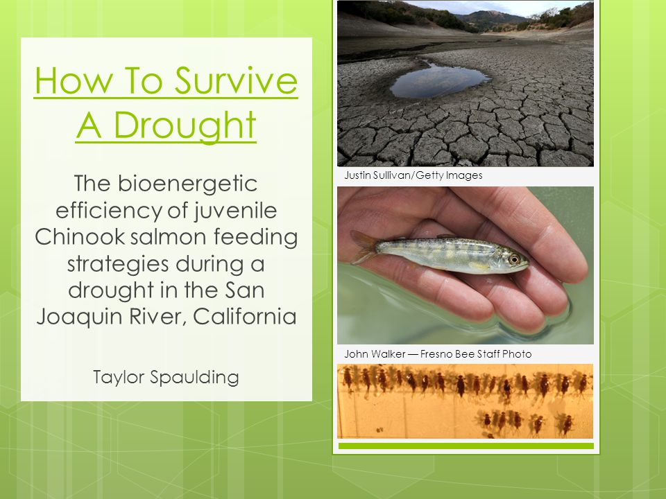 How To Survive A Drought The bioenergetic efficiency of juvenile Chinook salmon feeding strategies during a drought in the San Joaquin River, California Taylor Spaulding Justin Sullivan/Getty Images John Walker — Fresno Bee Staff Photo