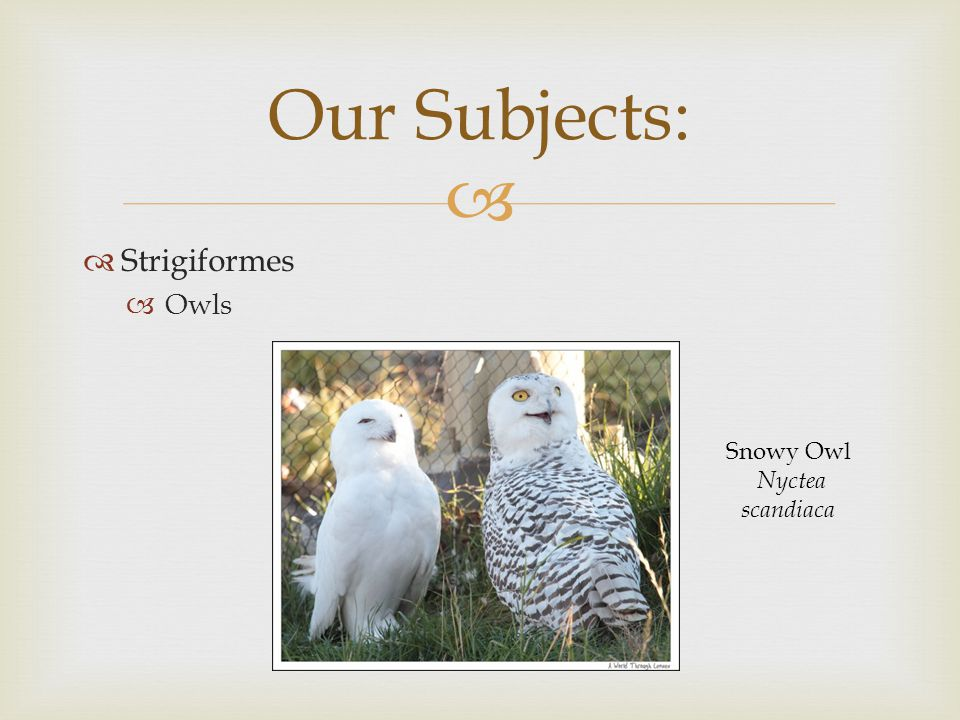   Strigiformes  Owls Our Subjects: Snowy Owl Nyctea scandiaca