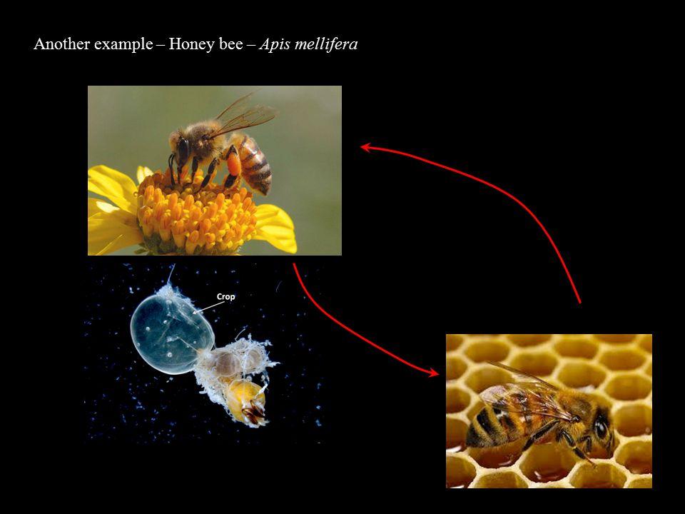 Another example – Honey bee – Apis mellifera