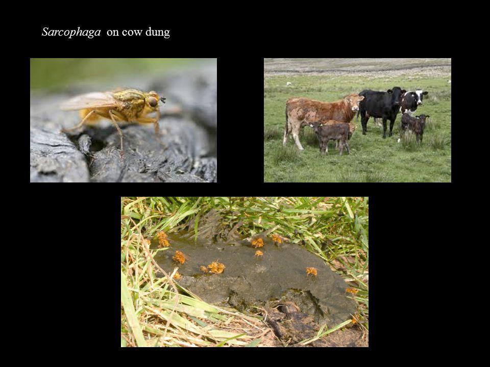 Sarcophaga on cow dung
