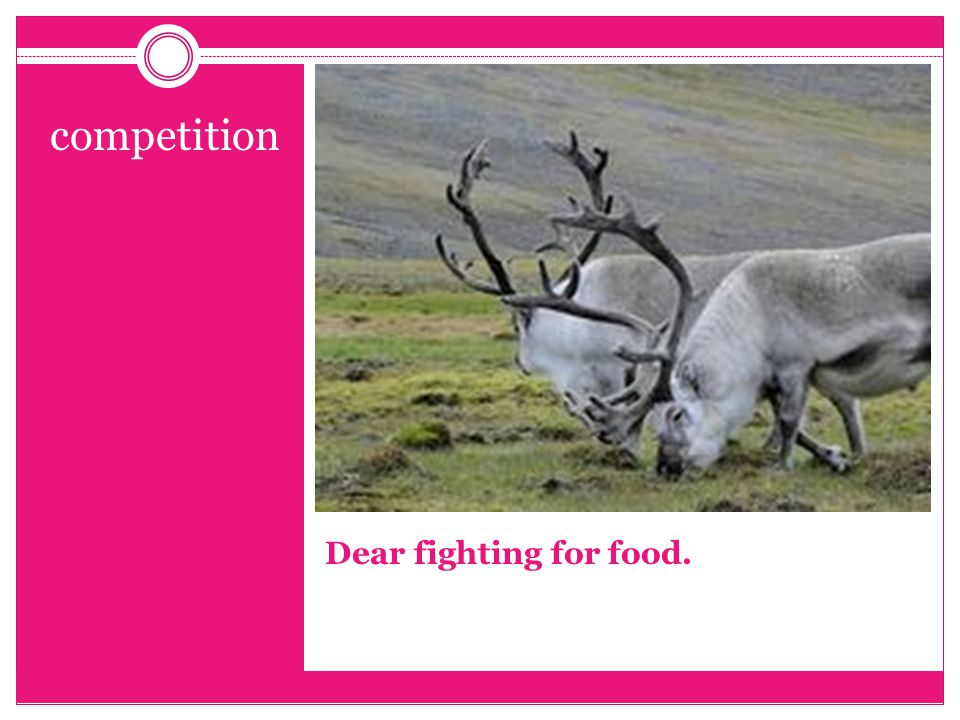 Dear fighting for food. competition