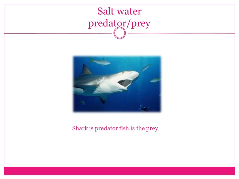 Salt water predator/prey Shark is predator fish is the prey.