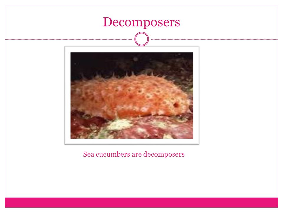 Decomposers Sea cucumbers are decomposers