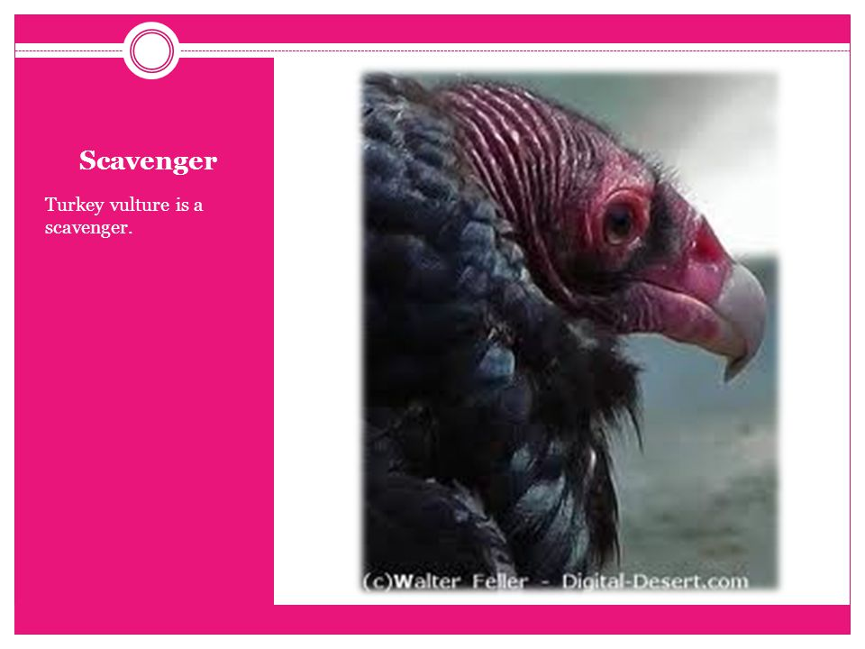 Scavenger Turkey vulture is a scavenger.