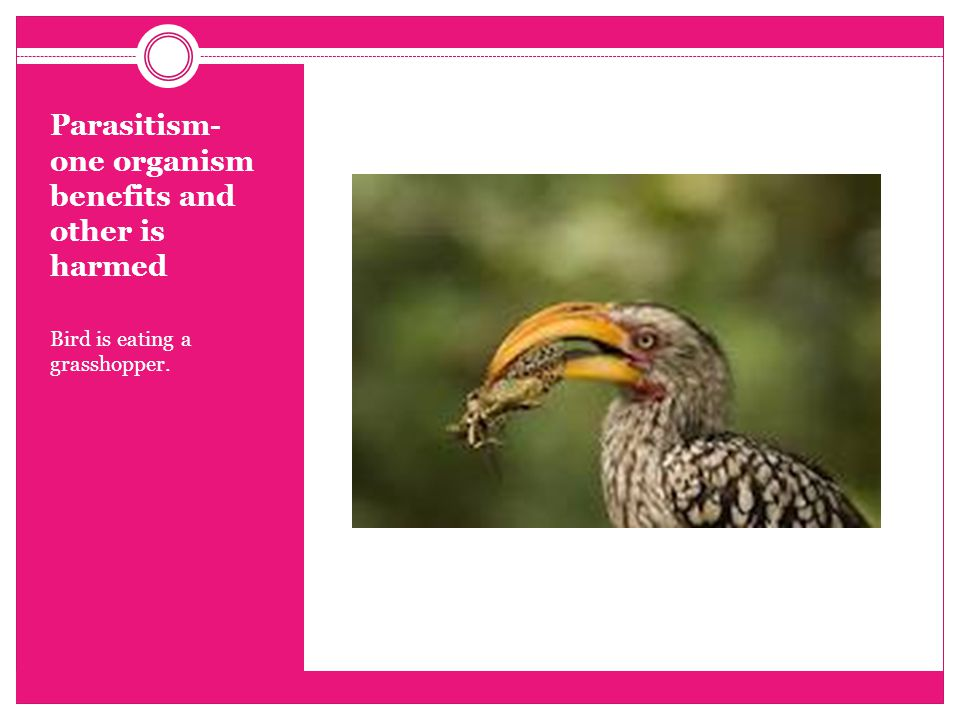 Parasitism- one organism benefits and other is harmed Bird is eating a grasshopper.