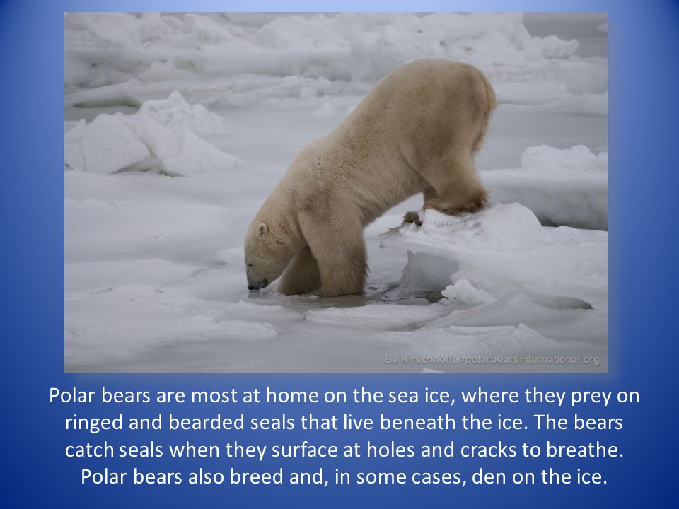 Polar bears are most at home on the sea ice, where they prey on ringed and bearded seals that live beneath the ice. The bears catch seals when they su