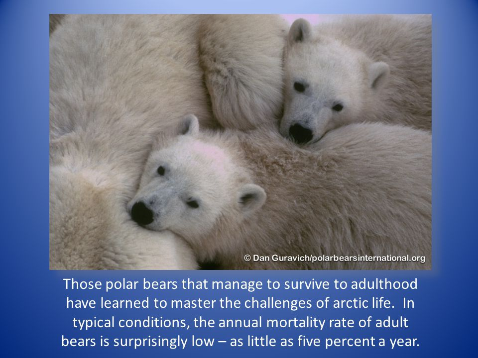 Those polar bears that manage to survive to adulthood have learned to master the challenges of arctic life. In typical conditions, the annual mortalit