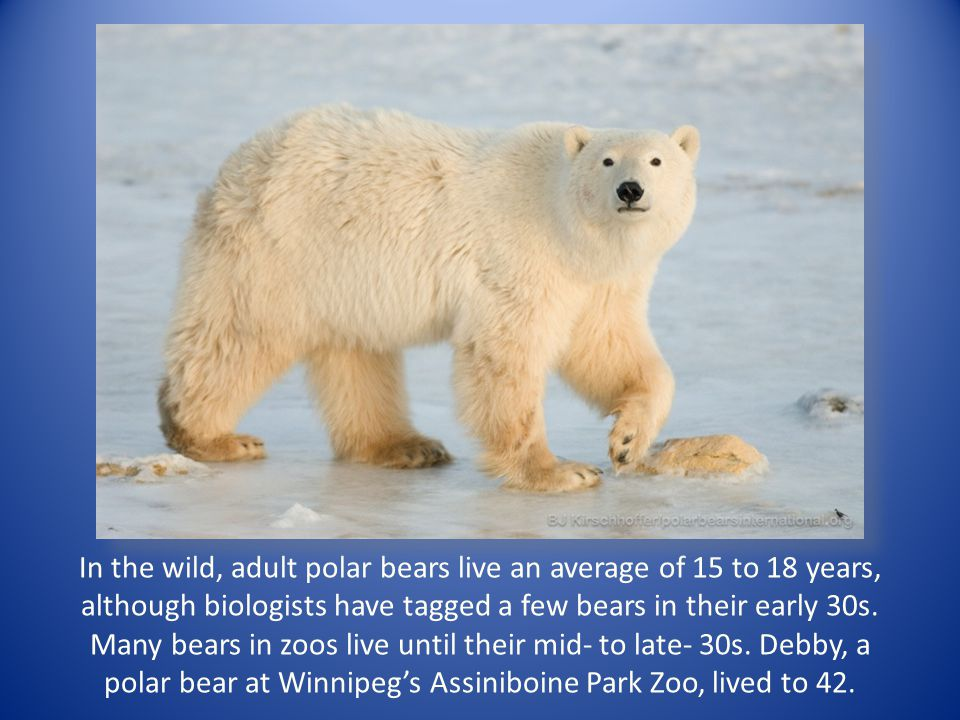 In the wild, adult polar bears live an average of 15 to 18 years, although biologists have tagged a few bears in their early 30s. Many bears in zoos l