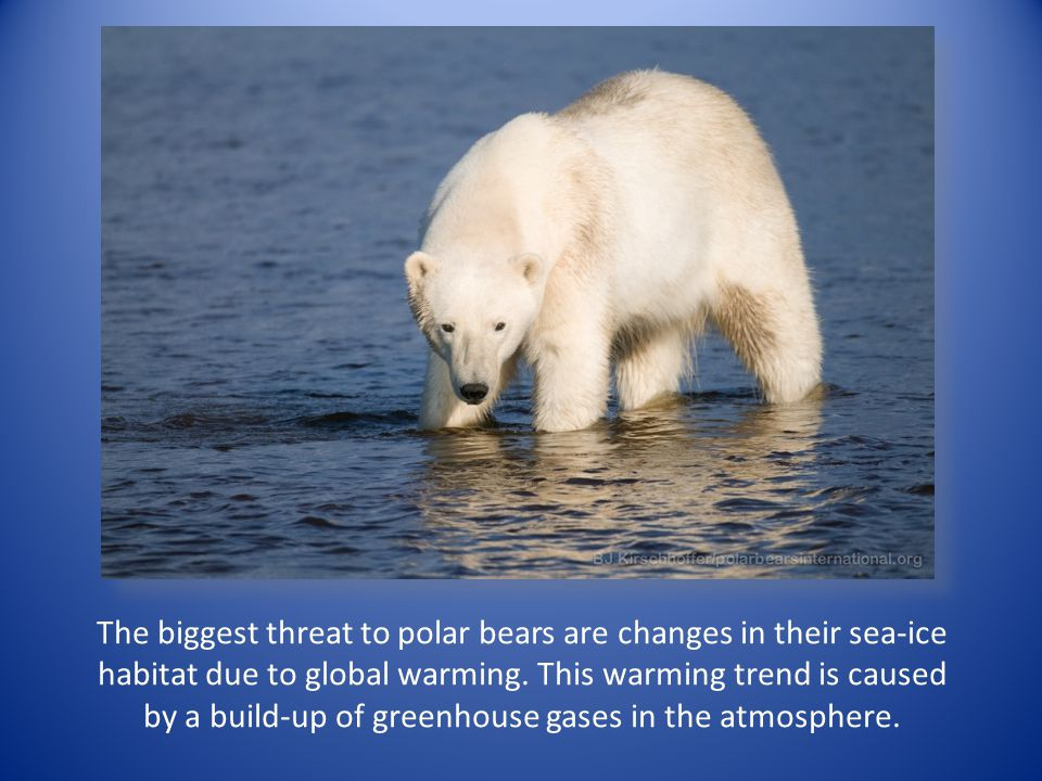 The biggest threat to polar bears are changes in their sea-ice habitat due to global warming. This warming trend is caused by a build-up of greenhouse