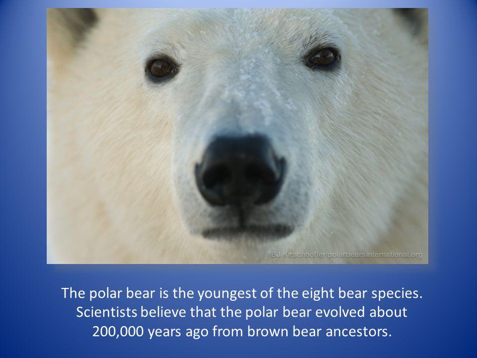 The polar bear is one of eight bear species.