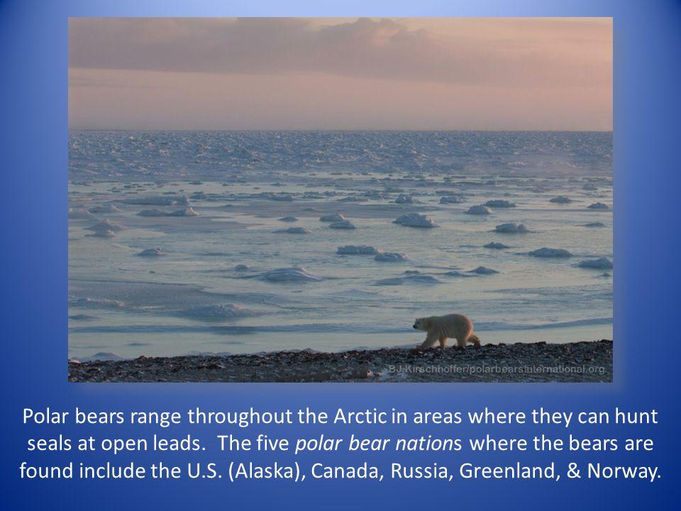 Polar bears are the world's largest non-aquatic predators.