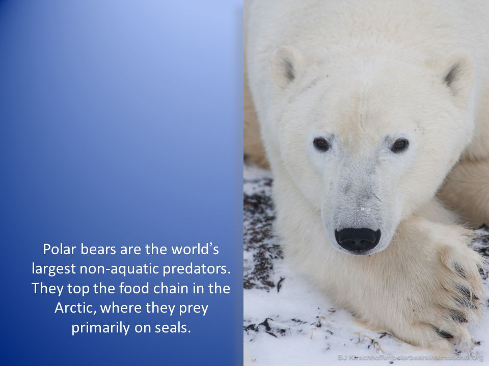 Polar bears are the world's largest non-aquatic predators. They top the food chain in the Arctic, where they prey primarily on seals.