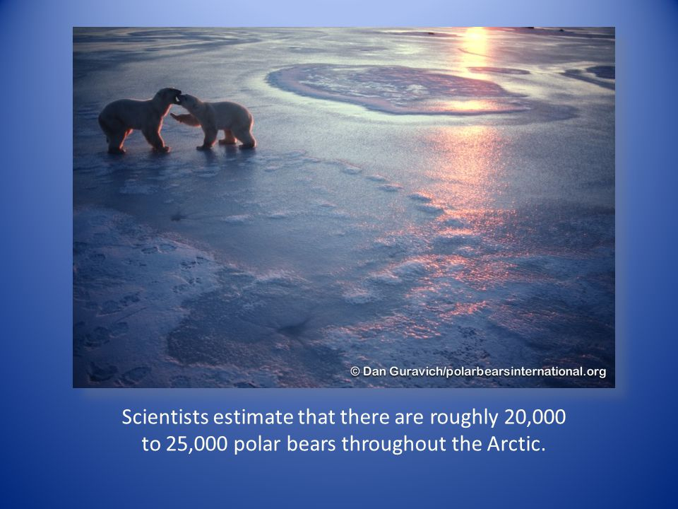 Scientists estimate that there are roughly 20,000 to 25,000 polar bears throughout the Arctic.
