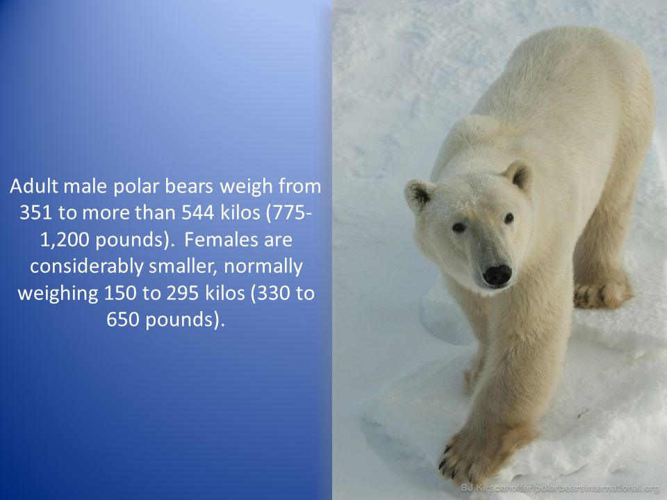 Adult male polar bears weigh from 351 to more than 544 kilos (775- 1,200 pounds). Females are considerably smaller, normally weighing 150 to 295 kilos