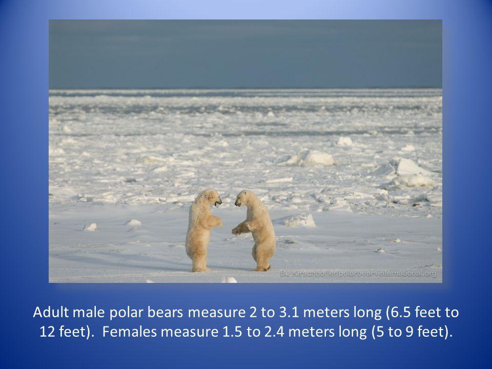 Adult male polar bears measure 2 to 3.1 meters long (6.5 feet to 12 feet). Females measure 1.5 to 2.4 meters long (5 to 9 feet).
