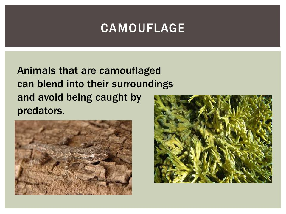 CAMOUFLAGE Animals that are camouflaged can blend into their surroundings and avoid being caught by predators.