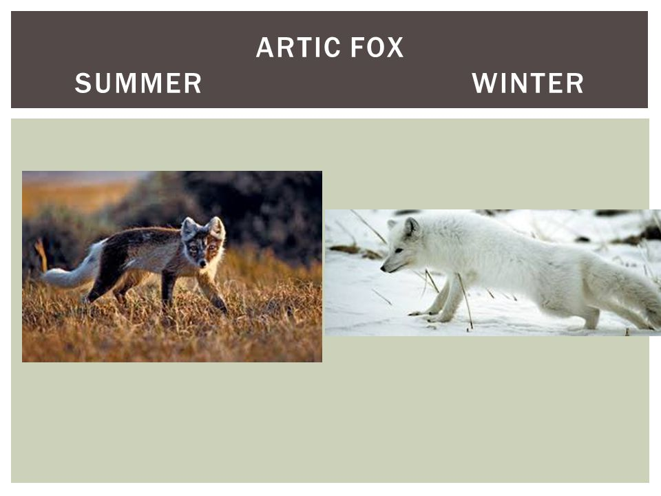 ARTIC FOX SUMMERWINTER