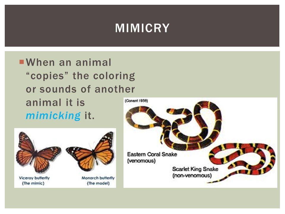  When an animal copies the coloring or sounds of another animal it is mimicking it. MIMICRY