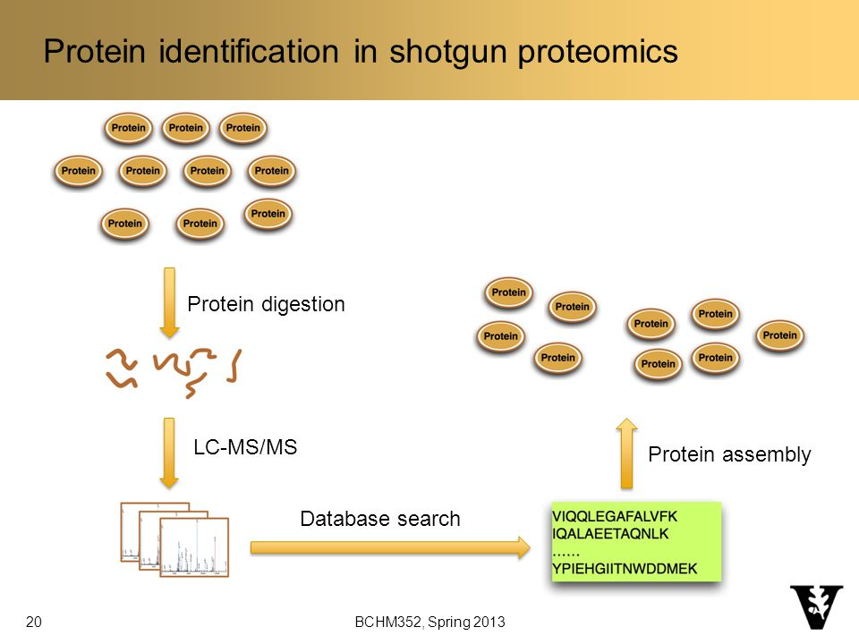 Protein identification in shotgun proteomics Protein digestion LC-MS/MS Database search Protein assembly 20 BCHM352, Spring 2013
