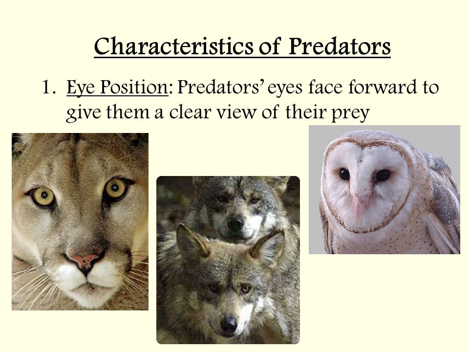 Characteristics of Predators 1.Eye Position: Predators' eyes face forward to give them a clear view of their prey
