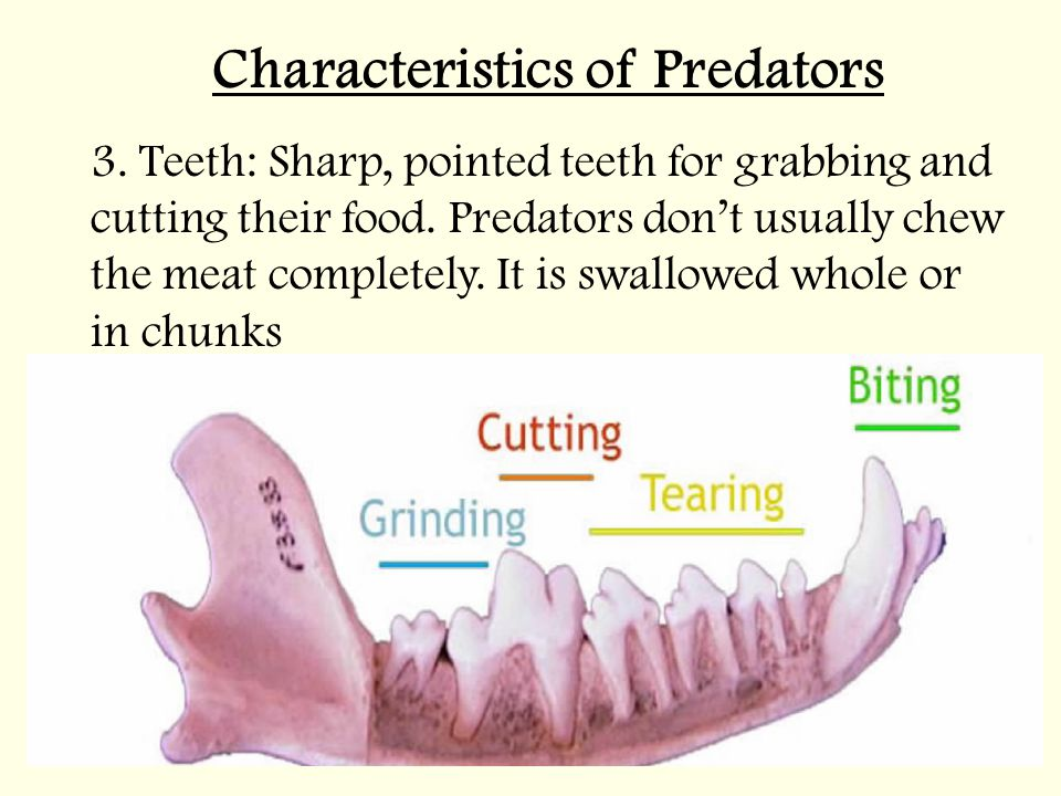 Characteristics of Predators 3.Teeth: Sharp, pointed teeth for grabbing and cutting their food.