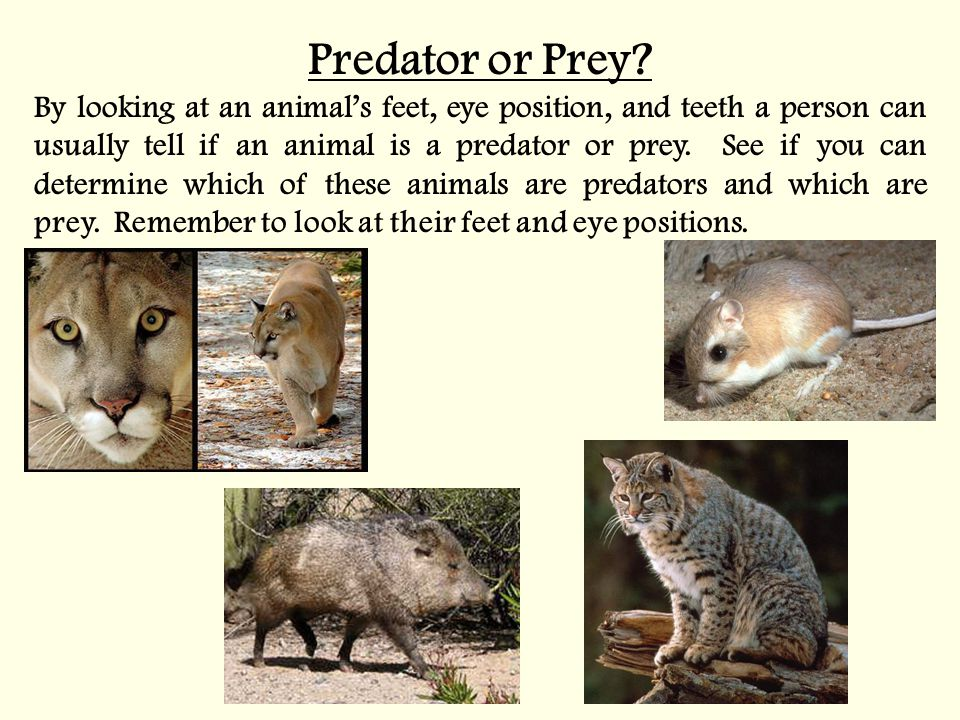 Predator or Prey? By looking at an animal's feet, eye position, and teeth a person can usually tell if an animal is a predator or prey. See if you can