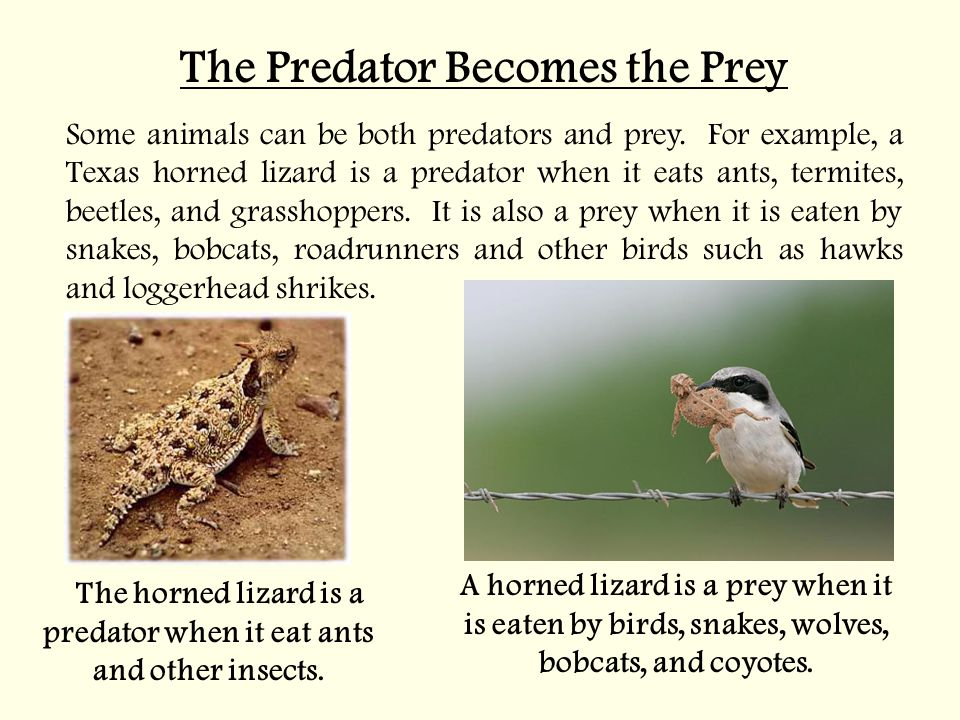 The Predator Becomes the Prey Some animals can be both predators and prey.