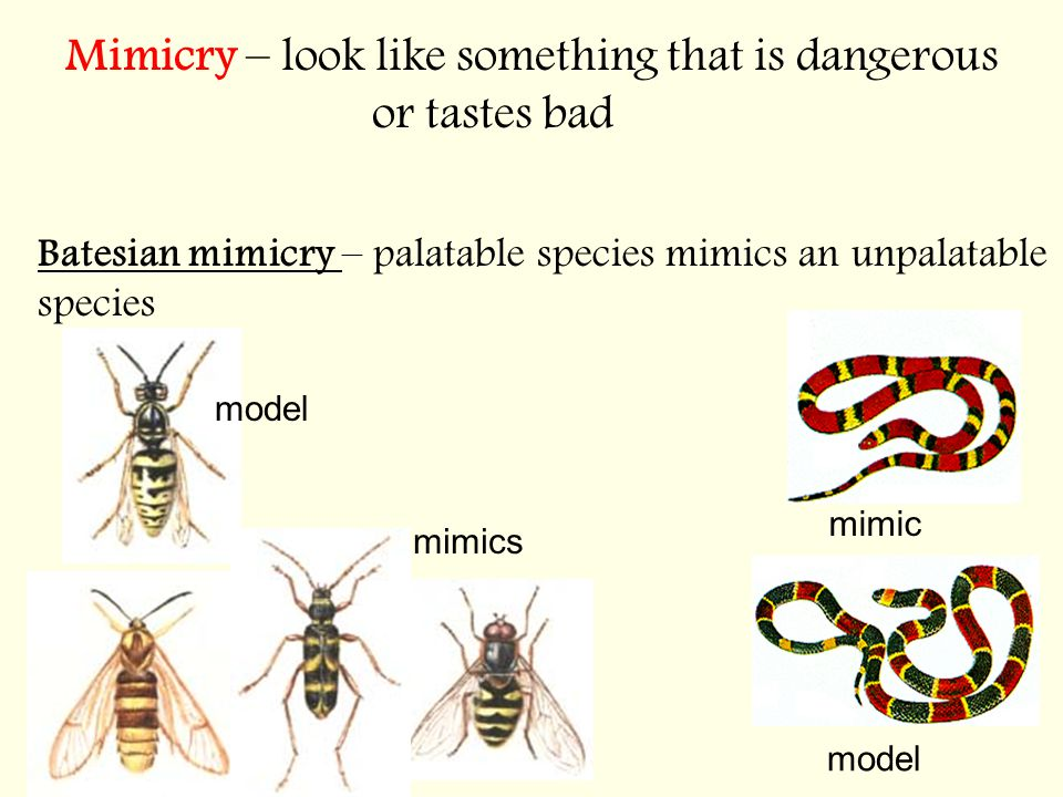 Mimicry – look like something that is dangerous or tastes bad Batesian mimicry – palatable species mimics an unpalatable species model mimic model mimics